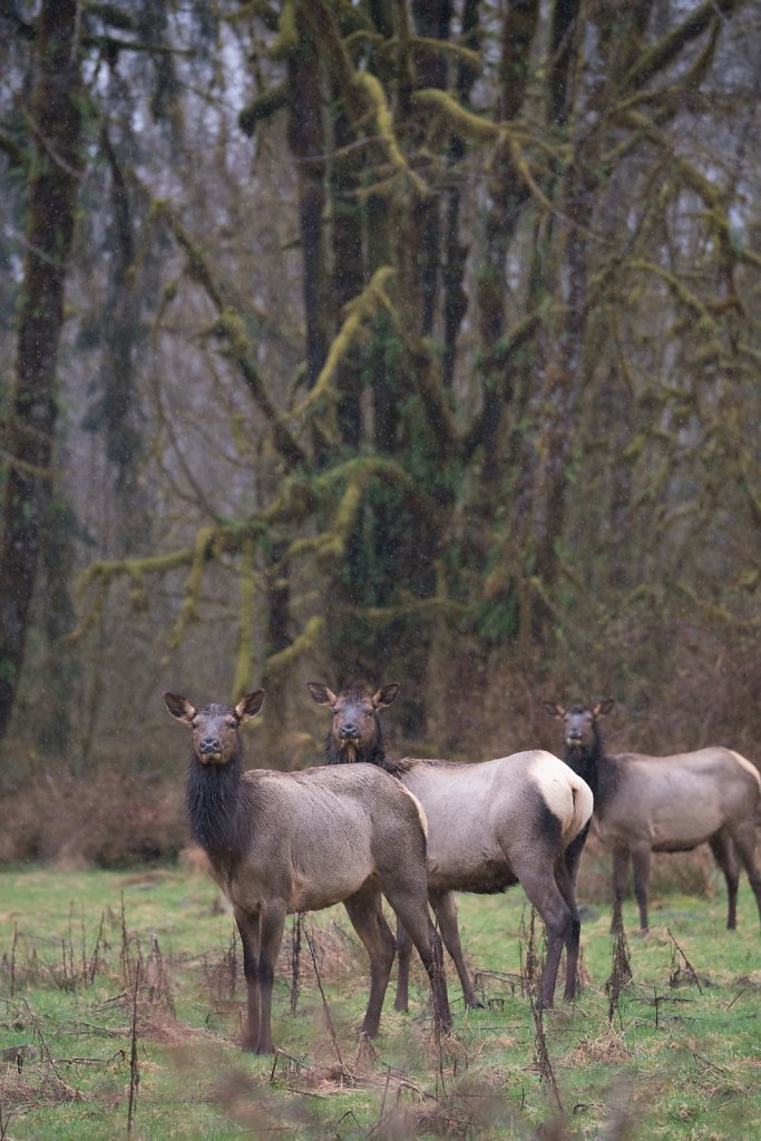 Elk in the pouring rain at the Hoh Rainforest
