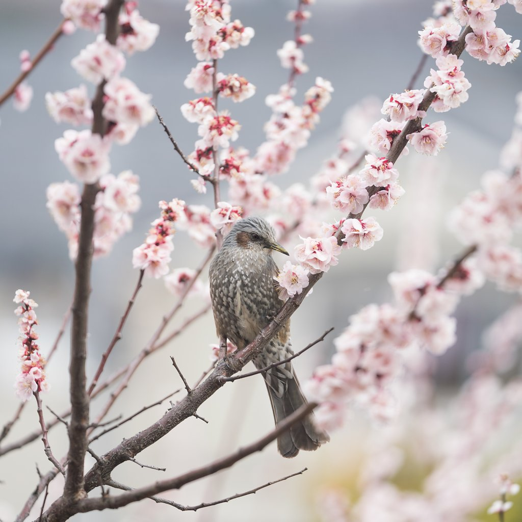 Brown-eared bulbul with plum blossoms